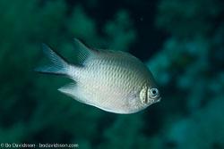 BD-100922-St-Johns-2032-Amblyglyphidodon-leucogaster-(Bleeker.-1847)-[Whitebelly-damselfish].jpg